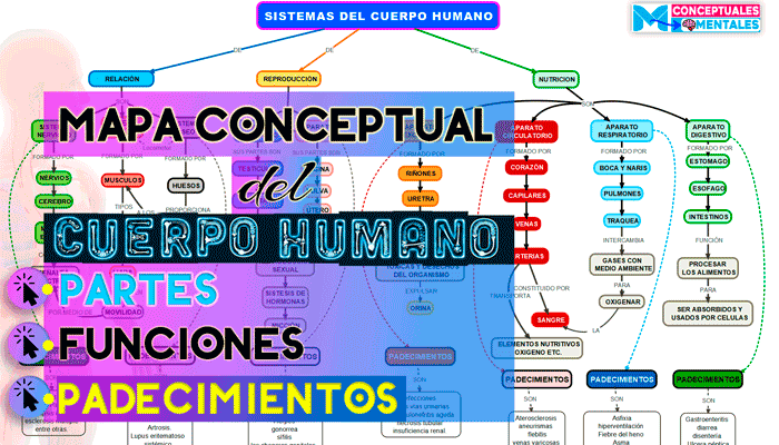 Mapa conceptual del cuerpo humano y sus sistemas, funciones y padecimientos