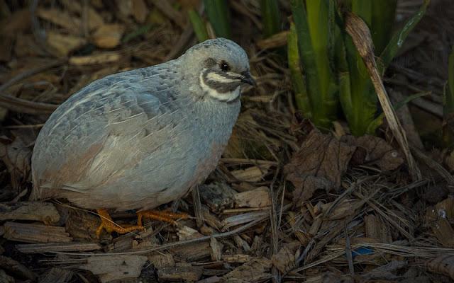 Aves comunes domésticas