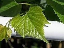 Manfaat Daun Anggur