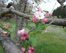 Pink apple blossoms