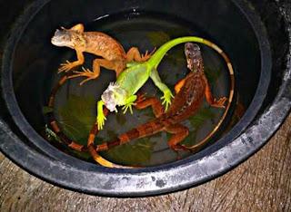 Cara Memandikan Iguana yang Benar