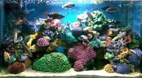 cara memelihara ikan koi untuk pemula,cara memelihara ikan koi yang baik,cara memelihara ikan koi yang baik dan benar,cara memelihara ikan koi di aquarium,