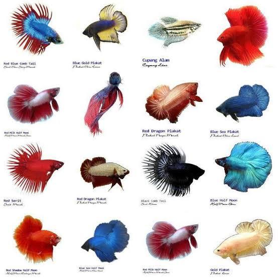 Perbedaan Ikan Cupang Hias dan Aduan yang Mudah Dikenali