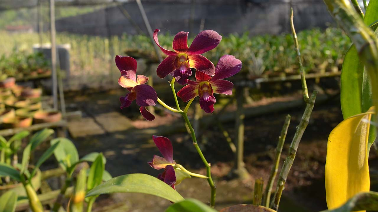 Agro Wisata Penggarit Orchids Pemalang, Destinasi Wisata Buat Kalian yang Hobi Tanaman Hias