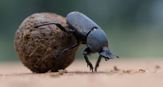 Dung beetle carrying its food image credit: sciencenews.org