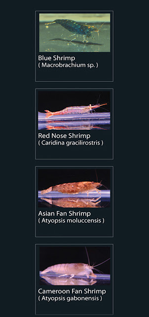 1. Blue shrimp  Nama Latin Macrobrachium  2. Red Nose Shrimp  Nama Latin Caridina Gracilirostris  3. Asian Fan Shrimp Nama Latin Atyopsis Moluccenis  4. Cameroon Fan Shrimp  Nama Latin Atyopsis Gabonensis