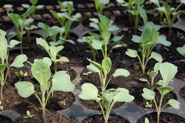 Berikut beberapa tips dan panduan cara memindah tanaman yang sudah biasa kita terapkan terutama, Cara Memindahkan Bibit  dari Persemaian ke Lahan
