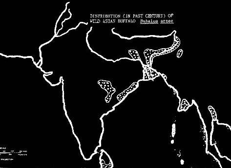 Kerbau Domestik (Kerbau Air) Bubalus bubalis berasal dari kerbau liar Asia