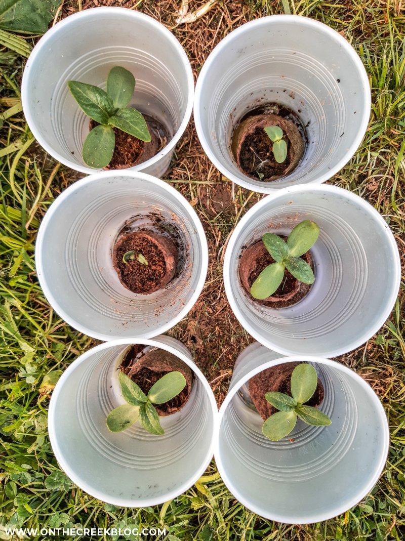sunflower seedlings | On The Creek Blog // www.onthecreekblog.com