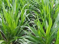 Rumput Odot Dijadikan Pakan Ternak, Memang Apa Keunggulannya?
