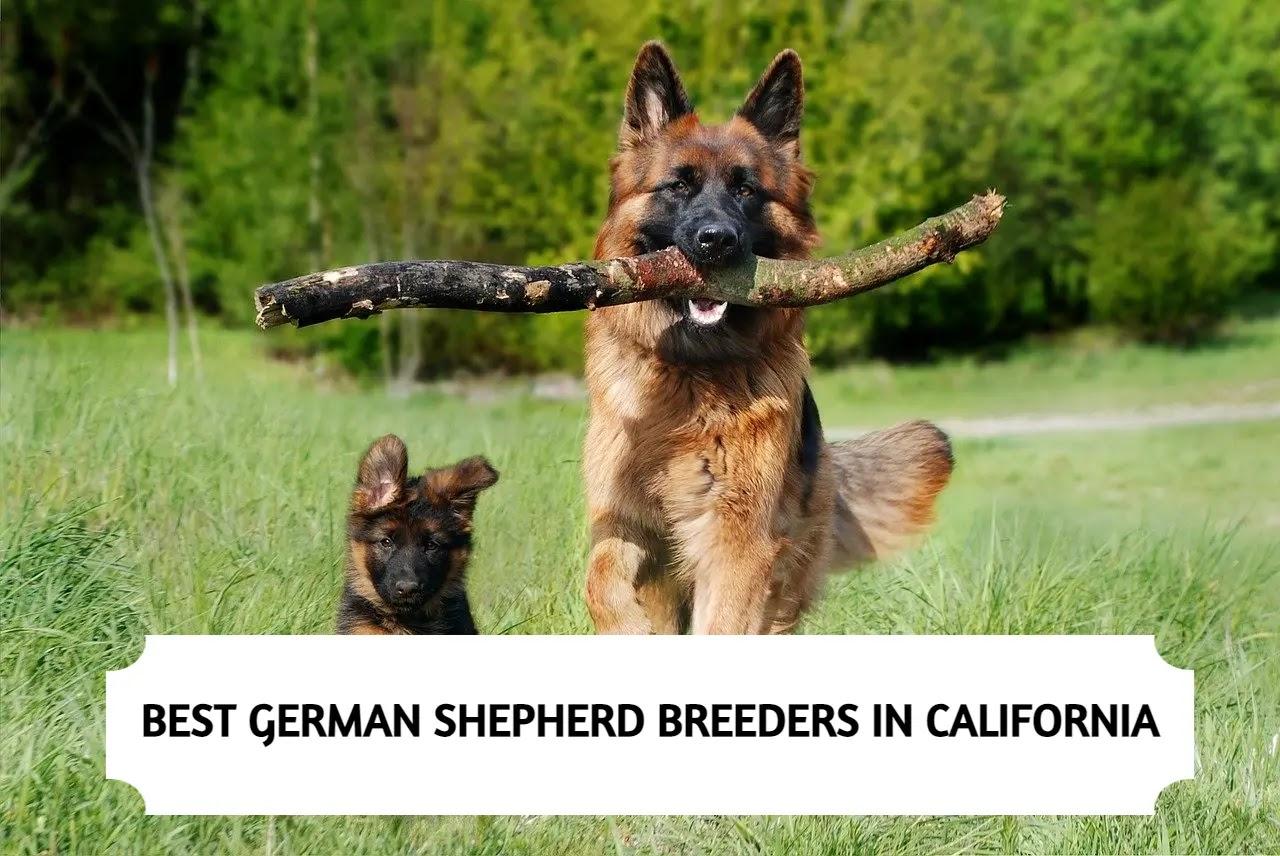 Best German Shepherd Breeders in California