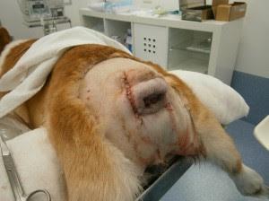 tratamento de cirurgia em cães