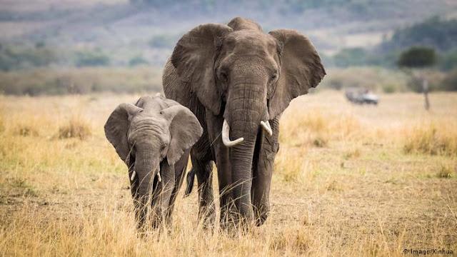 Penyebab Gajah Menjadi Langka