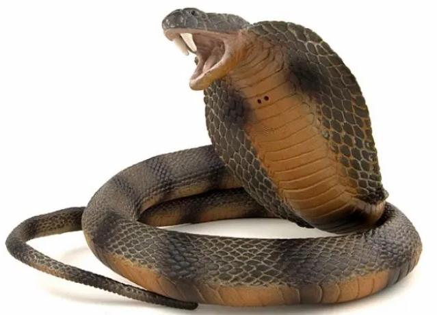 Ular king kobra memiliki kebiasaan merentangkan kulit leher ketika terancam