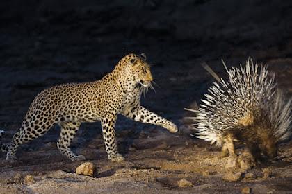 5 Hewan Dengan Pertahanan Diri Paling Mengagumkan