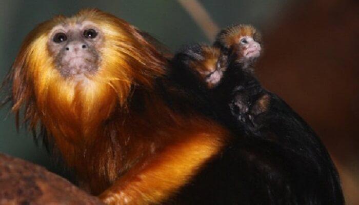 Nesli Tükenmek Üzere Olan Hayvanlar - Altın Başlı Langur - Kurgu Gücü