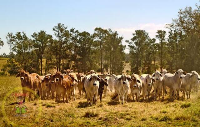Major diseases in cattle cows [Gai Bhaisiharuma Laagne Rogaharu]