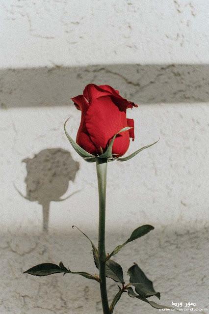 خلفيات ورد احمر جوري جميل