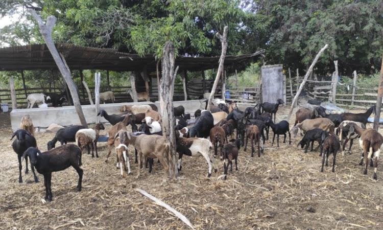 Criadores de caprinos e ovinos de Ituaçu dobram valor de venda dos animais