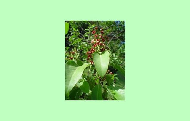 Cendana (Santalum album)