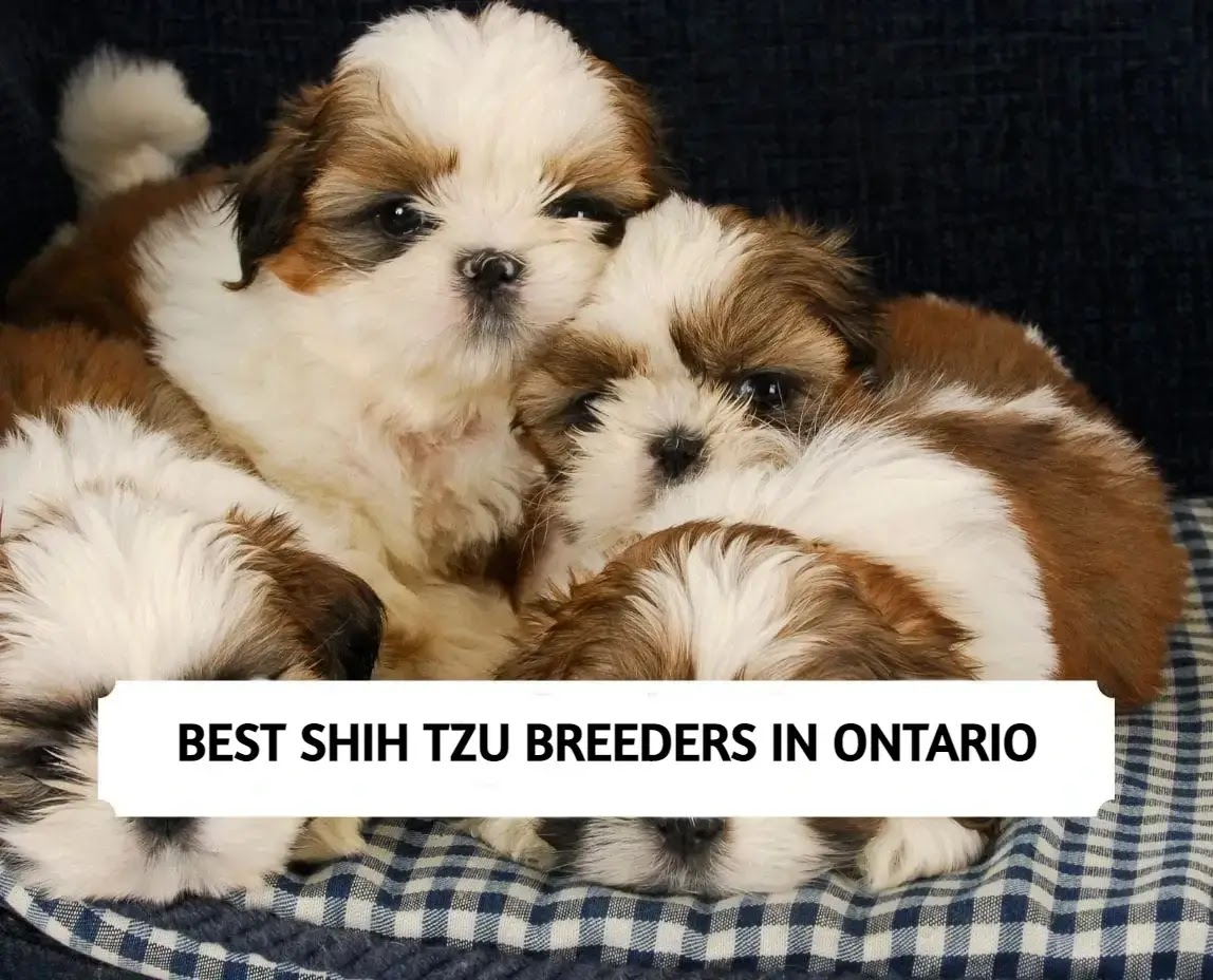 Best Shih Tzu Breeders in Ontario