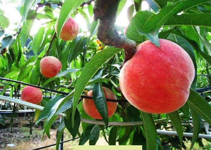Promo Bibit buah persik bibit tanaman buah persik DELIFMART Kalimantan Utara