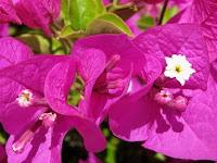 Tips Mudah Cara Menanam Bunga Bougenville Agar Berbunga Lebat