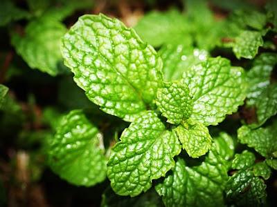mint,daun mint,manfaat daun mint,herbs