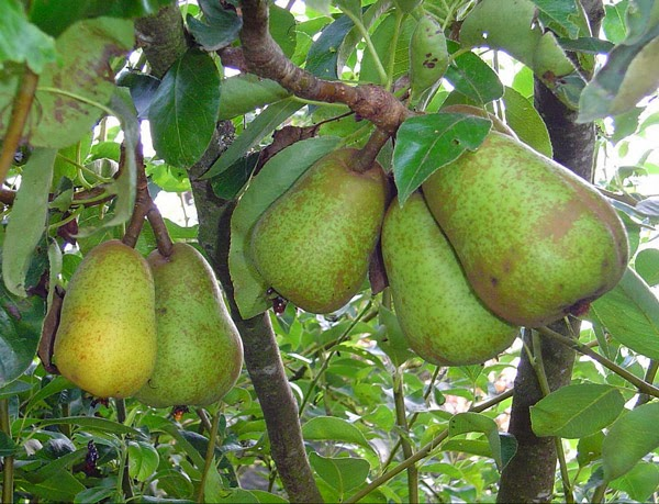 florida survival gardening survival plant profile pears. Black Bedroom Furniture Sets. Home Design Ideas