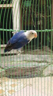 Ciri-ciri lovebird kepala elang