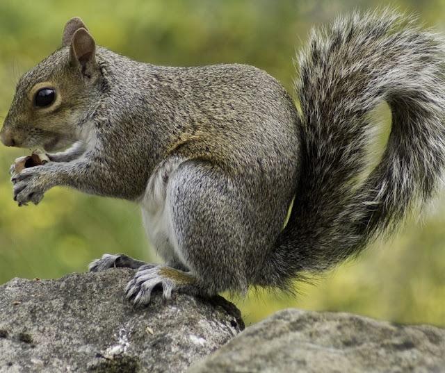 What do Squirrels eat? Do Squirrels Hibernate