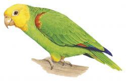 Amazona oratrix