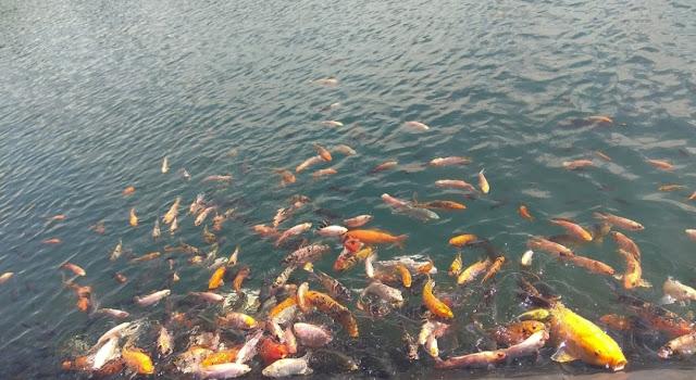 Bermain dengan Kerumunan Ikan