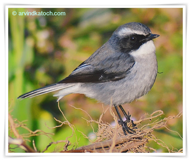 Grey Bush Chat, Saxicola ferreus