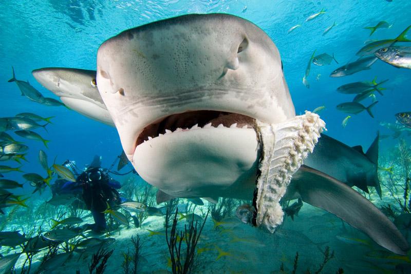 Tiger shark vs hammerhead shark - photo#5