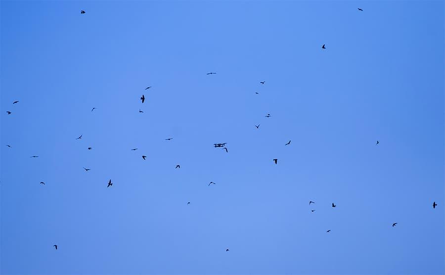 Birds Attacking Drone