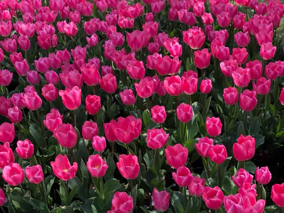 Flower Park Share Experience Tour to Japan Tulips