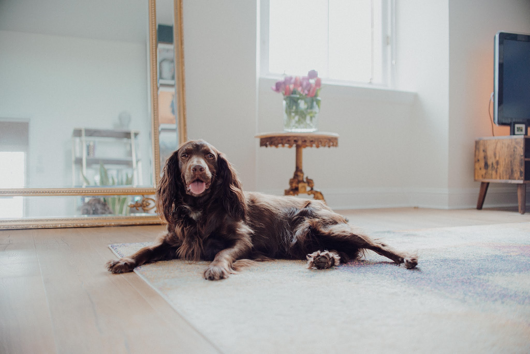 let sleeping dogs lie liquid grain cocker dachshund