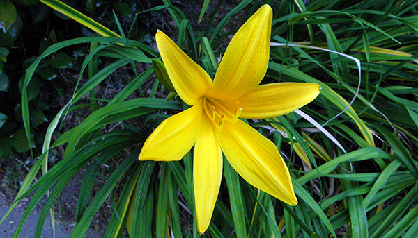 Yellow-orange day lily with spreading foliage