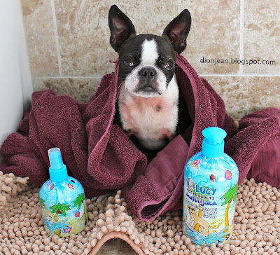 Sinead the Boston terrier wrapped in a towel