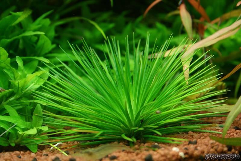 cỏ dùi trống là loài cây thủy sinh đẹp