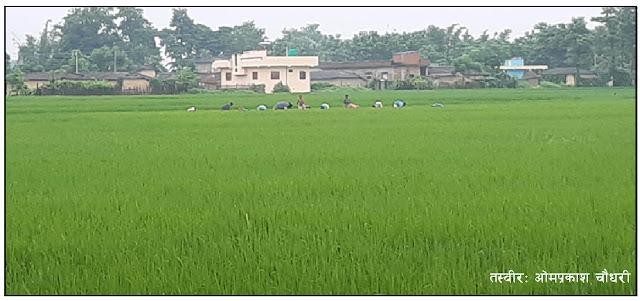 किसानहरू गोडमेलमा व्यस्त, मलको समस्या यथावत्