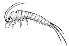 Ordo Microcoryphia