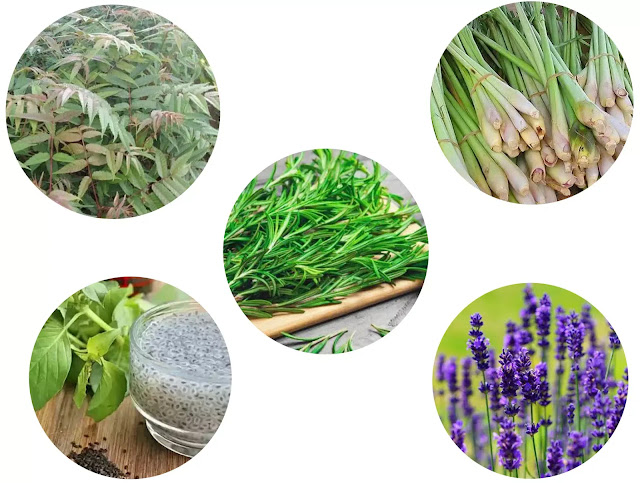 You can turn to natural ingredients to drive mosquito away, one of which is by mosquito repellent plants.