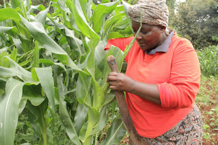A Nigerian woman in an orange shirt and beige head wrap checking her crops for worms.