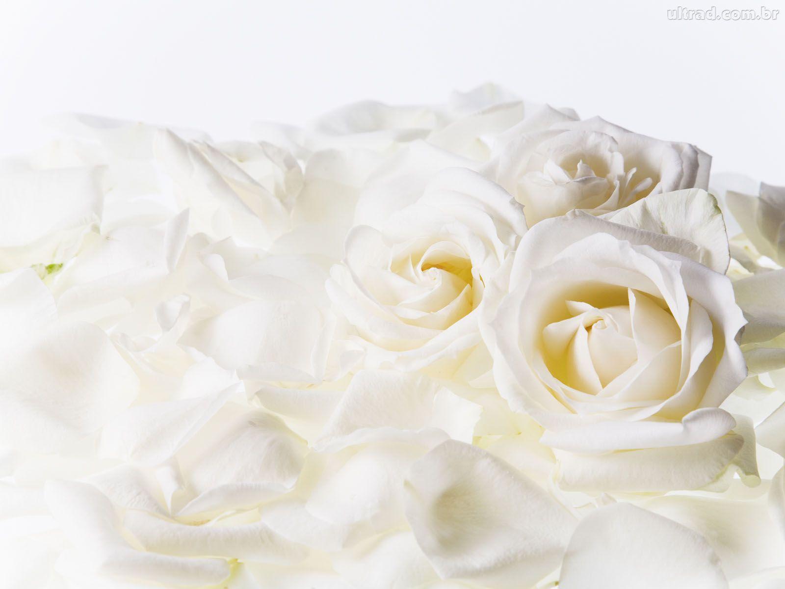 de tudo e mais um pouco  rosas brancas   postado