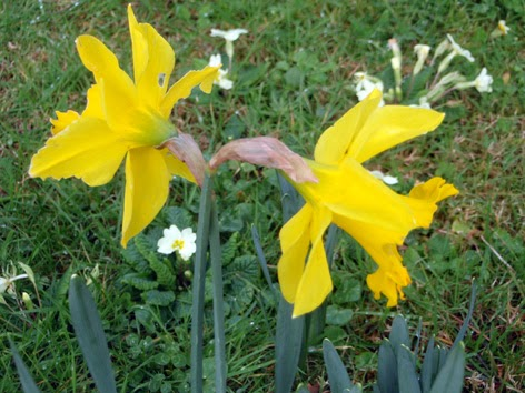 PLANTACIN Y CUIDADO DE BULBOS PRIMAVERALES Tulipanes narcisos