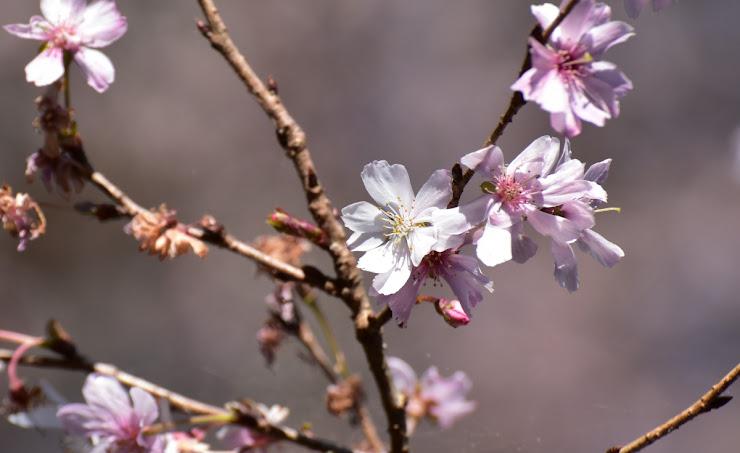 城峰公園の冬桜をアップ