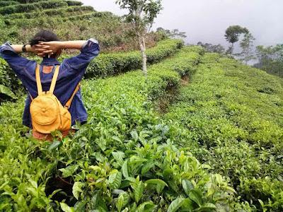 Tea gardens Nglingo