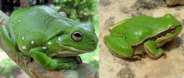 Yeşil Ağaç Kurbağası Litoria İnfrafrenata Özellikleri